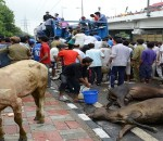 Photo-140718-cows-died-in-the-tempocrowd-rescuing-others-
