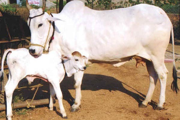 deshi-cow-mother-love-for-her-calf